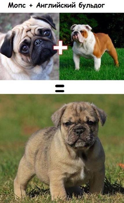 Смешанные породы собак (10 фото)